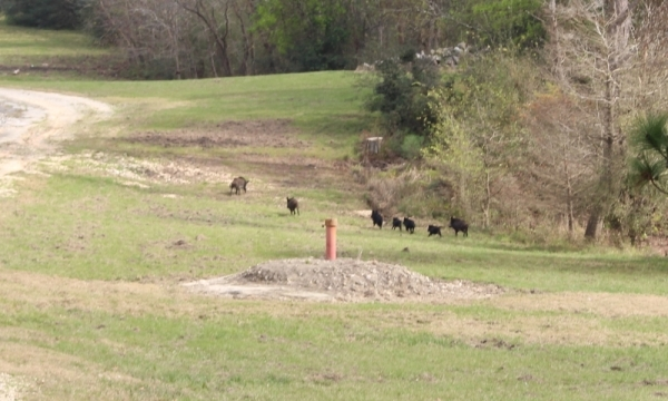 Feral hogs, seen here in neighboring Harris County, have been reported as a nuisance in parts of Montgomery County, including Conroe. (Kelly Schafler/Community Impact Newspaper)