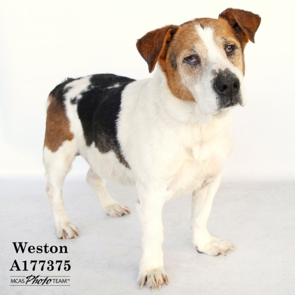 Weston, a 13-year-old basset hound, is one of many dogs up for adoption. (Courtesy Montgomery County Animal Shelter)