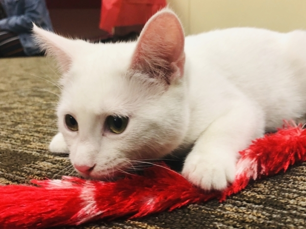The Roanoke Public Library hosted more than a dozen feline friends for its third annual Cat Cafe event Feb. 13. (Ian Pribanic/Community Impact Newspaper)
