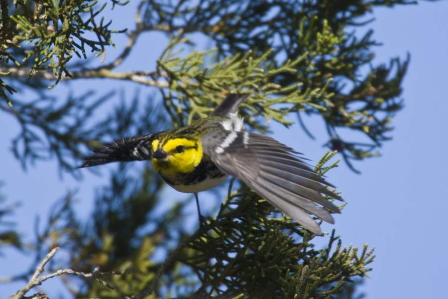 The Wild Basin is home to Central Texas' endangered Golden Cheeked Warbler. (Courtesy Barbara Dugelby)