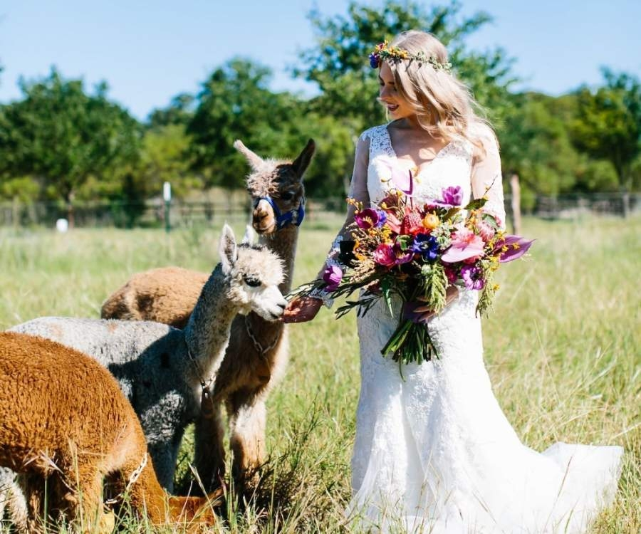 A photo of a bride in white with three alpacas