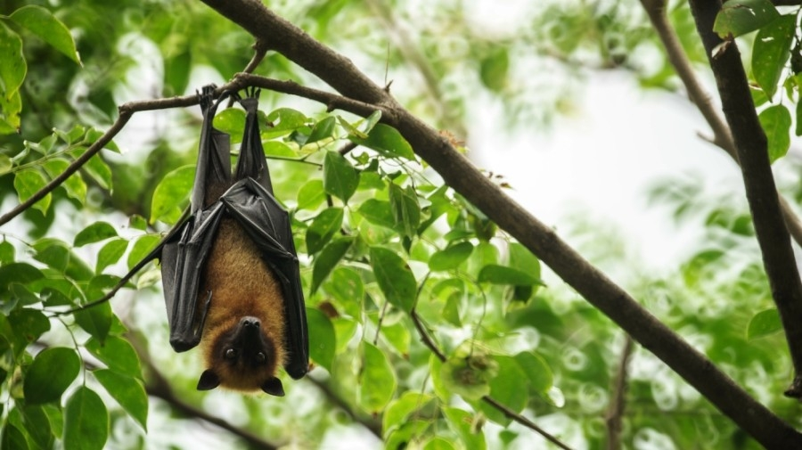 Several bats have tested positive for rabies in Plano. (Courtesy Adobe Stock)