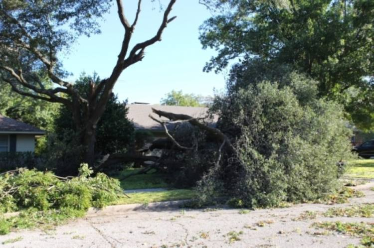 An estimated 3,500 trees were destroyed by last October's tornado. (Olivia Lueckemeyer/Community Impact Newspaper)