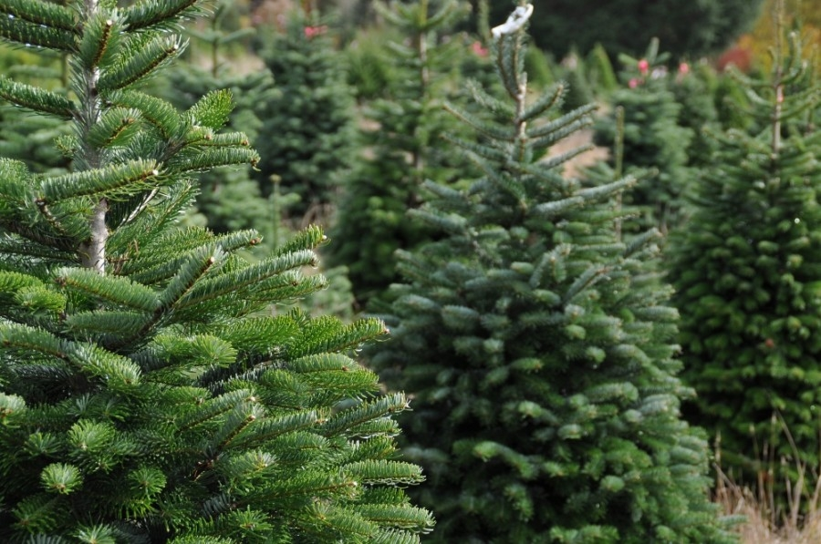 The city of Chandler will recycle your Christmas trees. (Courtesy Adobe Stock)