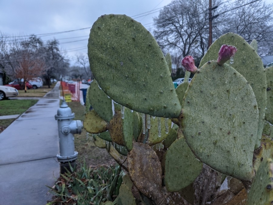 A cactus is covered in ice in North Austin on Feb. 11.