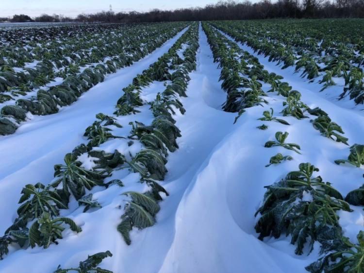 Snow covers crops at Johnson's Backyard Garden in Austin. (Courtesy Johnson's Backyard Garden)