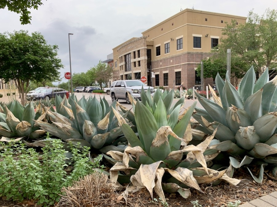 Succulent plants, like these agave, or century plants, at the Hill Country Galleria, were severely damaged by the 2021 winter storm. (Greg Perliski/Community Impact Newspaper).