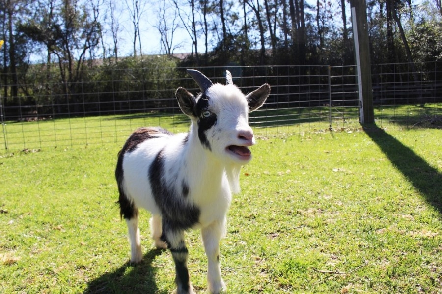 Residents in San Marcos who would like to have miniature goats on their property will be required to keep them in pairs to keep them from getting lonely. (Anna Lotz/Community Impact Newspaper)