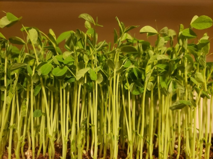 All microgreens are grown to order in a controlled environment from organic seeds with no pesticides, and they are harvested within 24 hours of delivery. (Courtesy Spring Harvest TX)