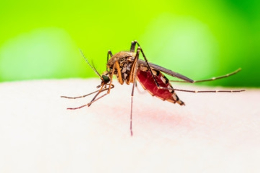 macro shot of a mosquito