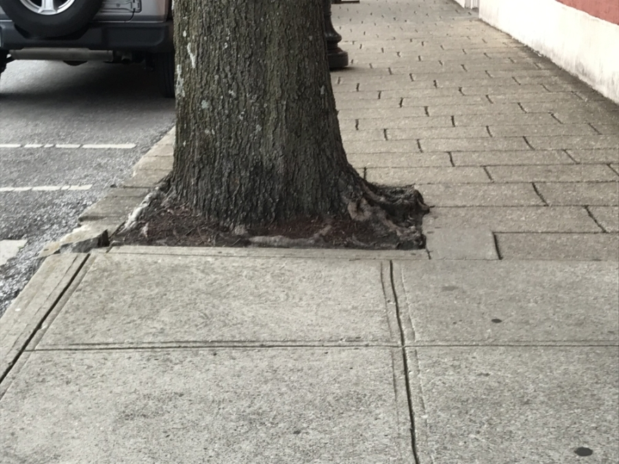 Some trees in downtown Franklin have outgrown their basins. (Wendy Sturges/Community Impact Newspaper)