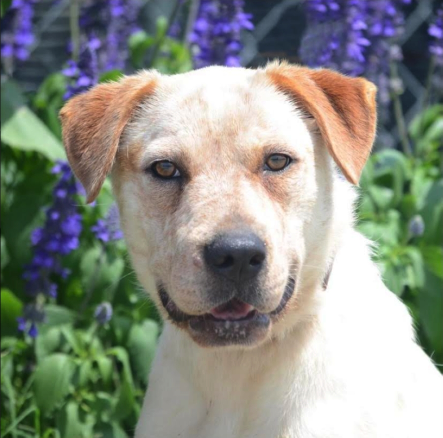 Izzy  is one of the 20 dogs in need of an emergency foster home. (Courtesy Austin Pets Alive)