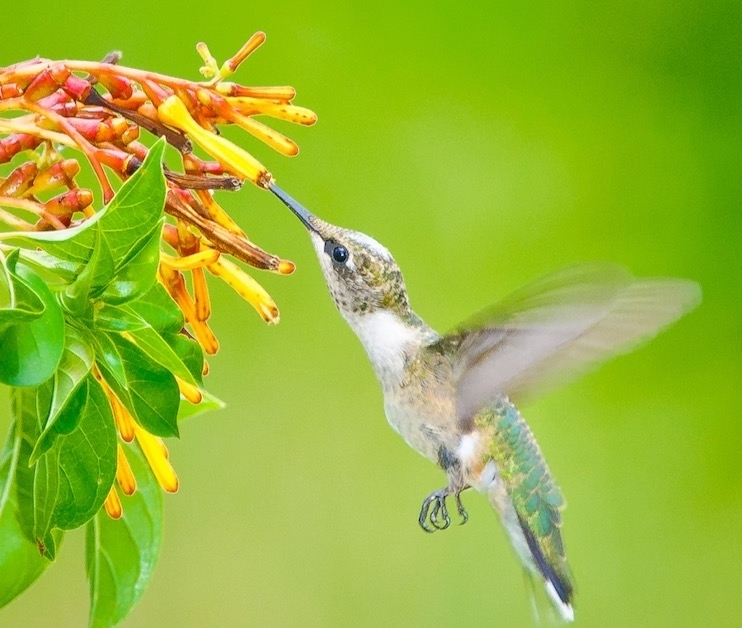 Harris County Precinct 3 will host its 13th annual Kleb Hummingbird Festival at the Kleb Woods Nature Preserve on Sept. 11. (Courtesy Frank Farese)