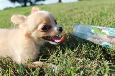 Lola, the coupleu2019s 3-month-old Chihuahua, eats Dr. Harveyu2019s Coconut Smiles dog treats.