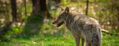 McKinney Animal Control is increasing its education efforts by teaching residents how to co-exist with coyotes.