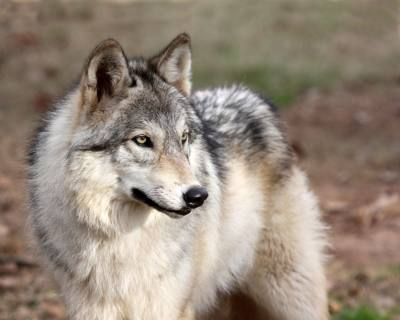 The Saint Francis Wolf Sanctuary is relocating from Montgomery County to Grimes County.
