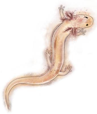 Georgetown Salamander